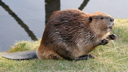 Beavers-3