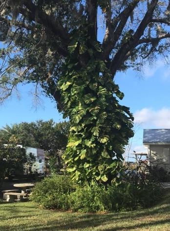 sundat tree